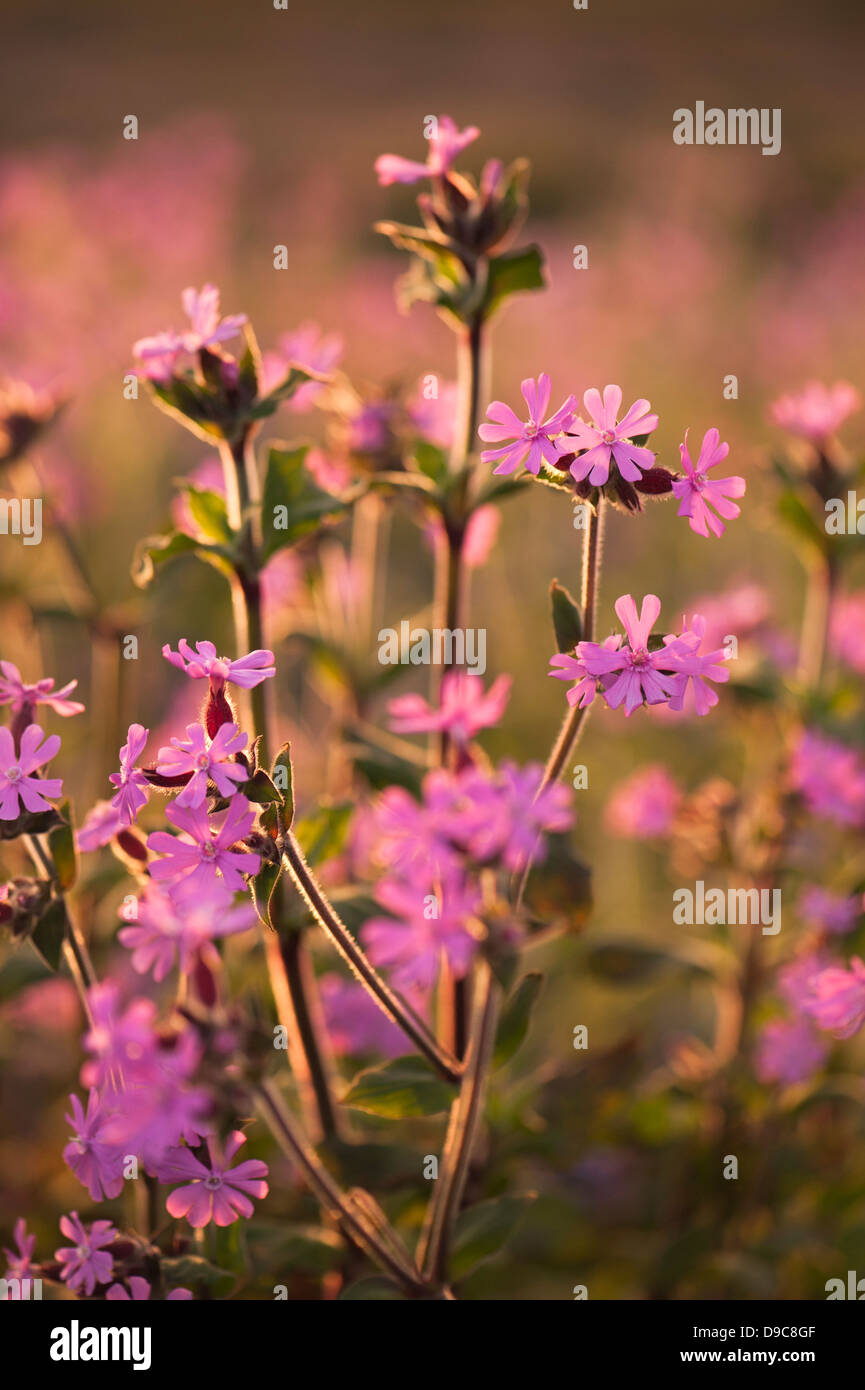 Red Campion, Silene dioica, at dusk on Skomer, South Pembrokeshire, Wales, United Kingdom Stock Photo