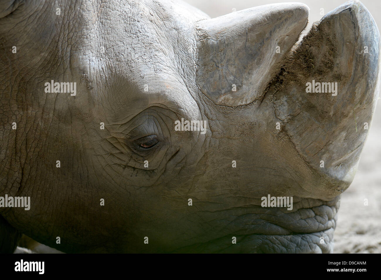 Duisburg, Germany. 17th June, 2013. A white rhionocerus or square-lipped rhinoceros (Ceratotherium simum) lies in Stock Photo