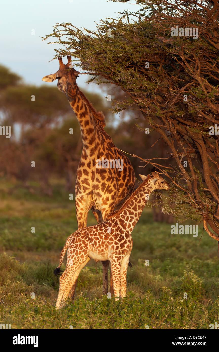 Giraffe mother with a calf, Serengeti, Tanzania - Stock Image