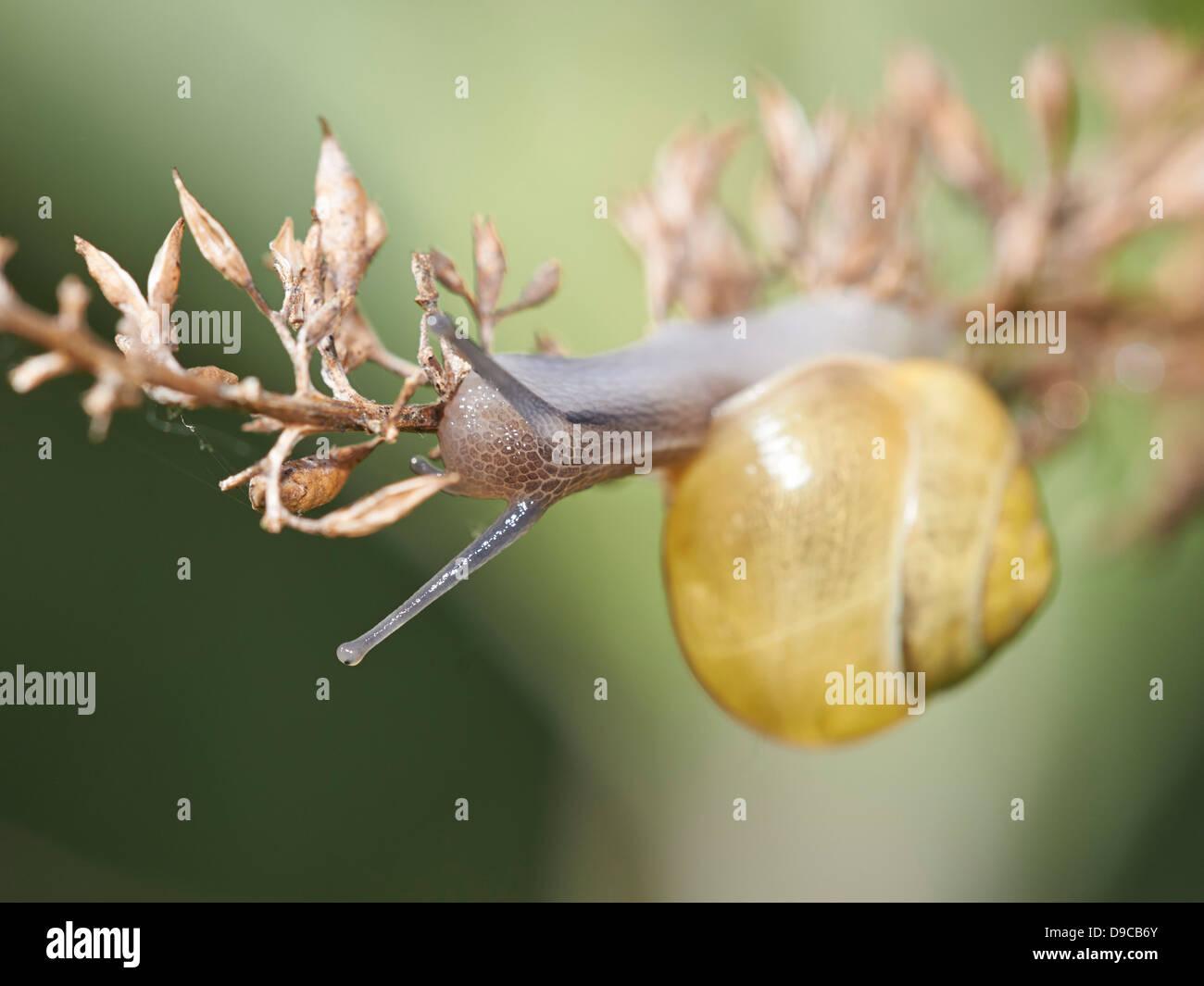 Garden Snail crawling along twig - Stock Image