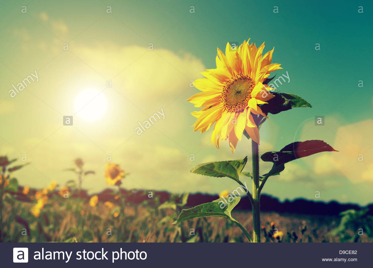 sun and sunflower - Stock Image