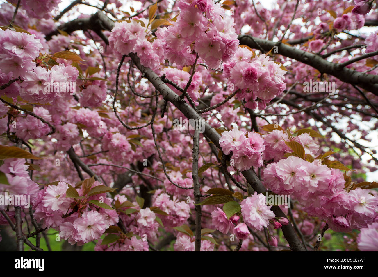 Cherry Tree Prunus Sargentii With Fresh Pink Flowers In Early