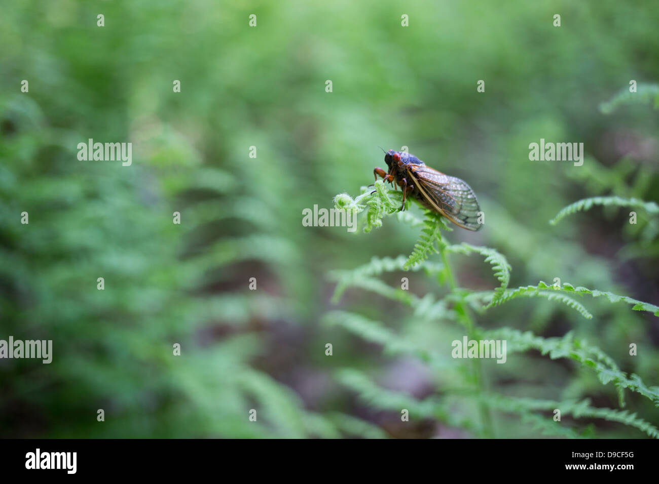 Periodical Cicada (Magicicada sp.) also know as the 17-year Periodical Cicadas of eastern North America. - Stock Image