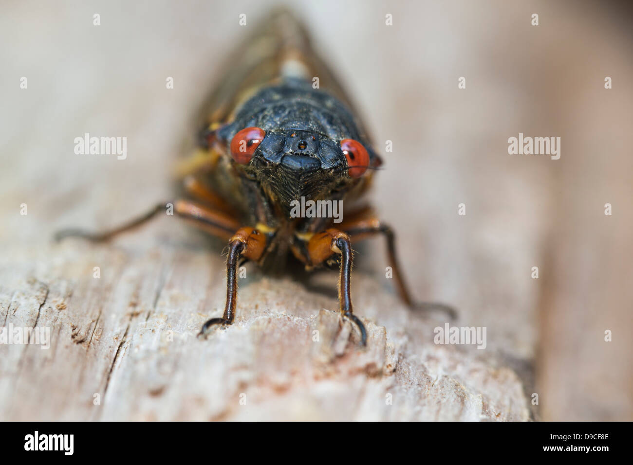 Close-up of Periodical Cicada (Magicicada sp.) also know as the 17-year Periodical Cicadas of eastern North America. - Stock Image