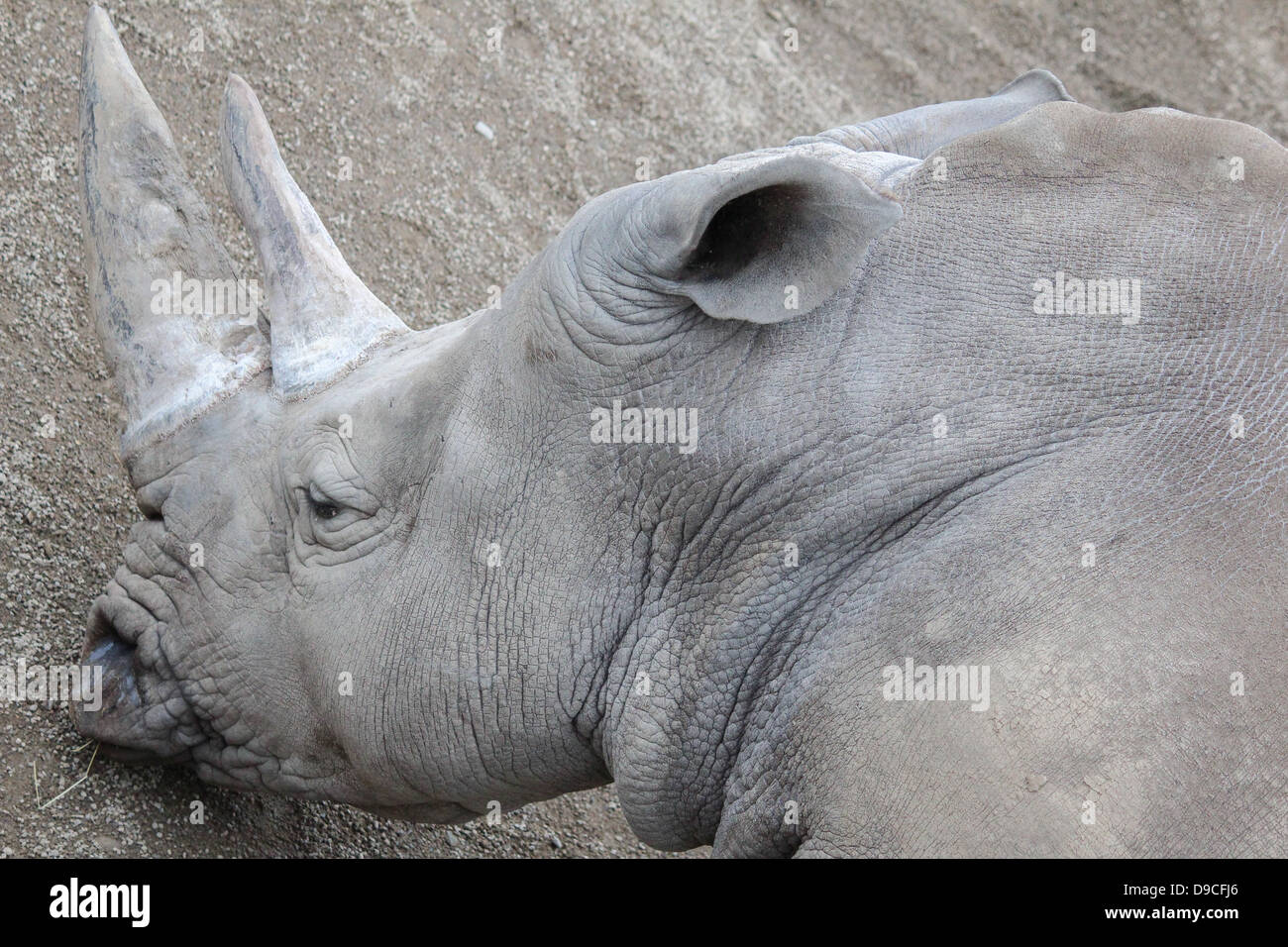 Pictured is a rhinoceros in Dublin Zoo, Ireland. - Stock Image