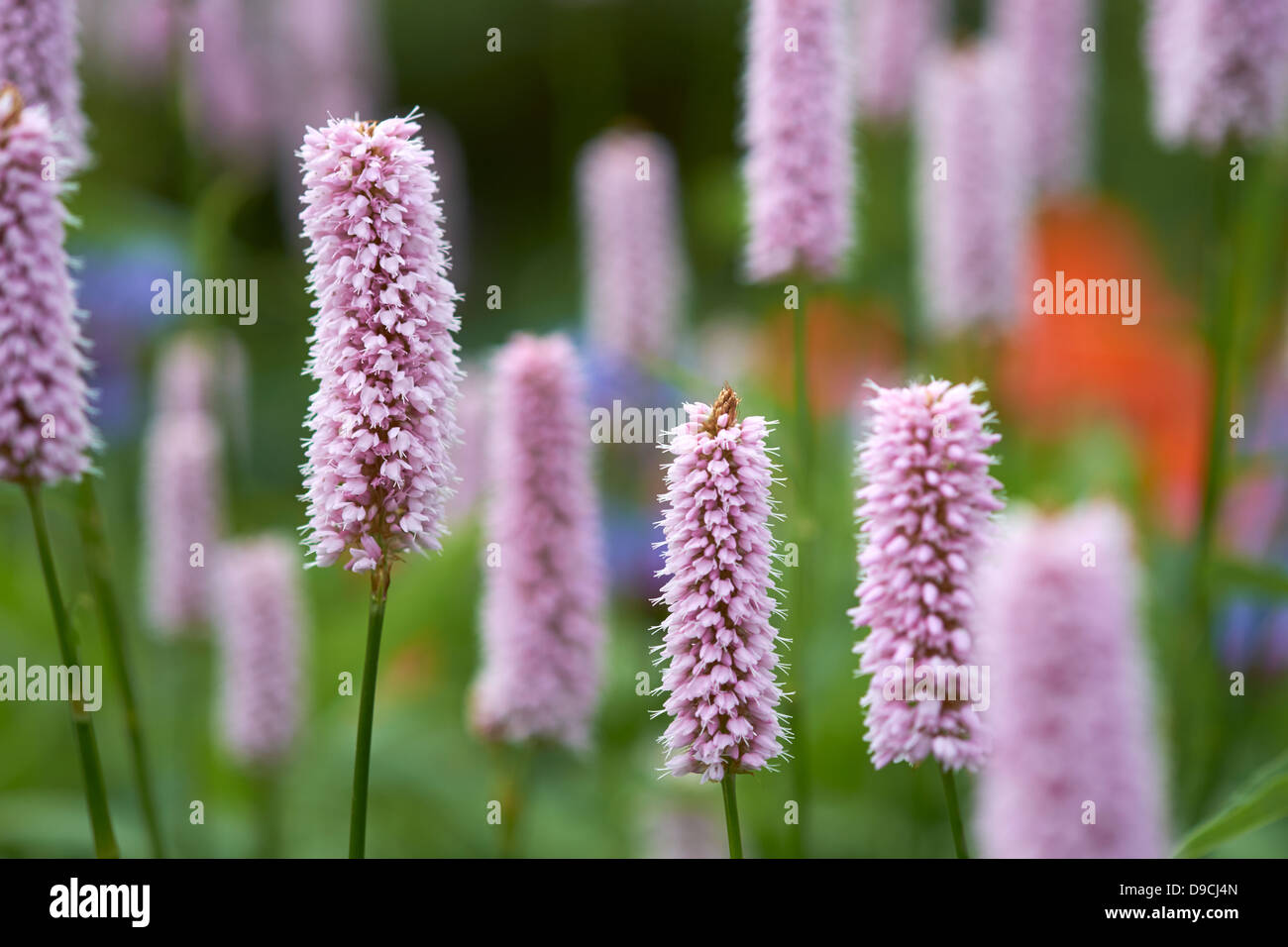 Pink Flowers Blurred Background - Stock Image