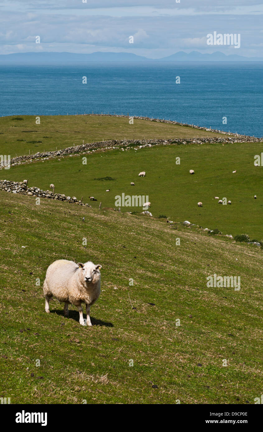 lovely sheep at the countryside in Northern Ireland (United Kingdom) - Stock Image