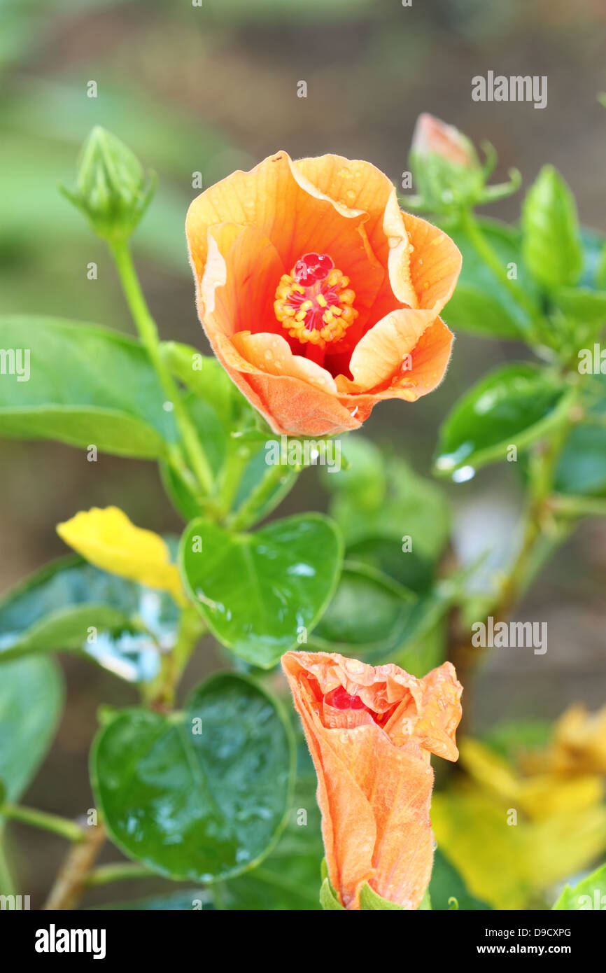 Orange Hibiscus Flower With Water Drop Stock Photo 57447448 Alamy