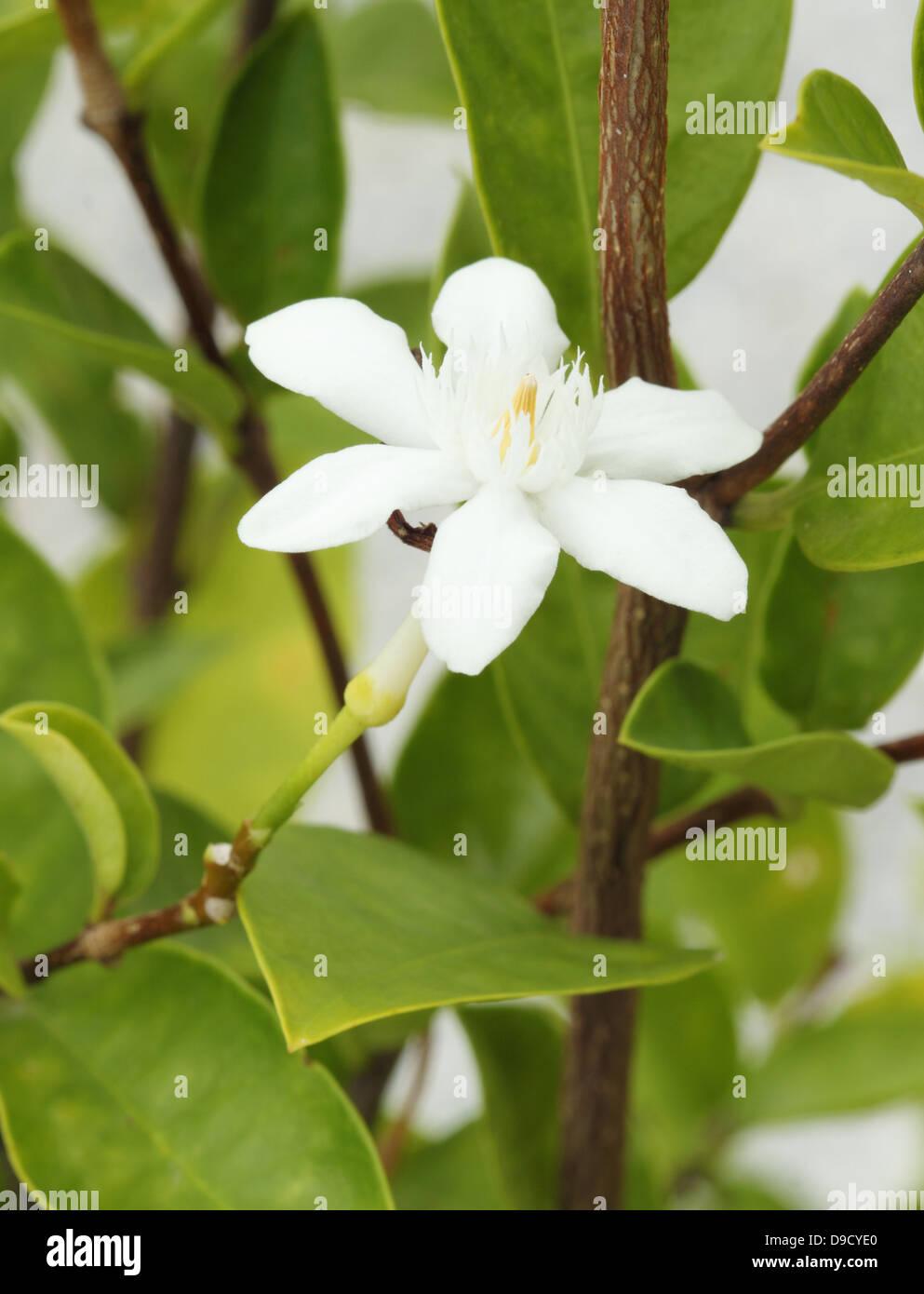 Jasmine creeper white flowers growing stock photos jasmine creeper stephan otis flower in garden stock image mightylinksfo