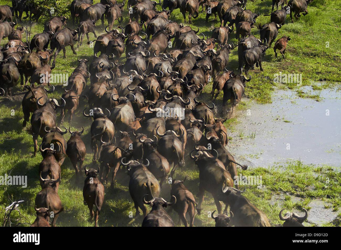 Cape buffalo (Syncerus caffer caffer), Okavango Delta, Botswana, Africa - aerial - Stock Image