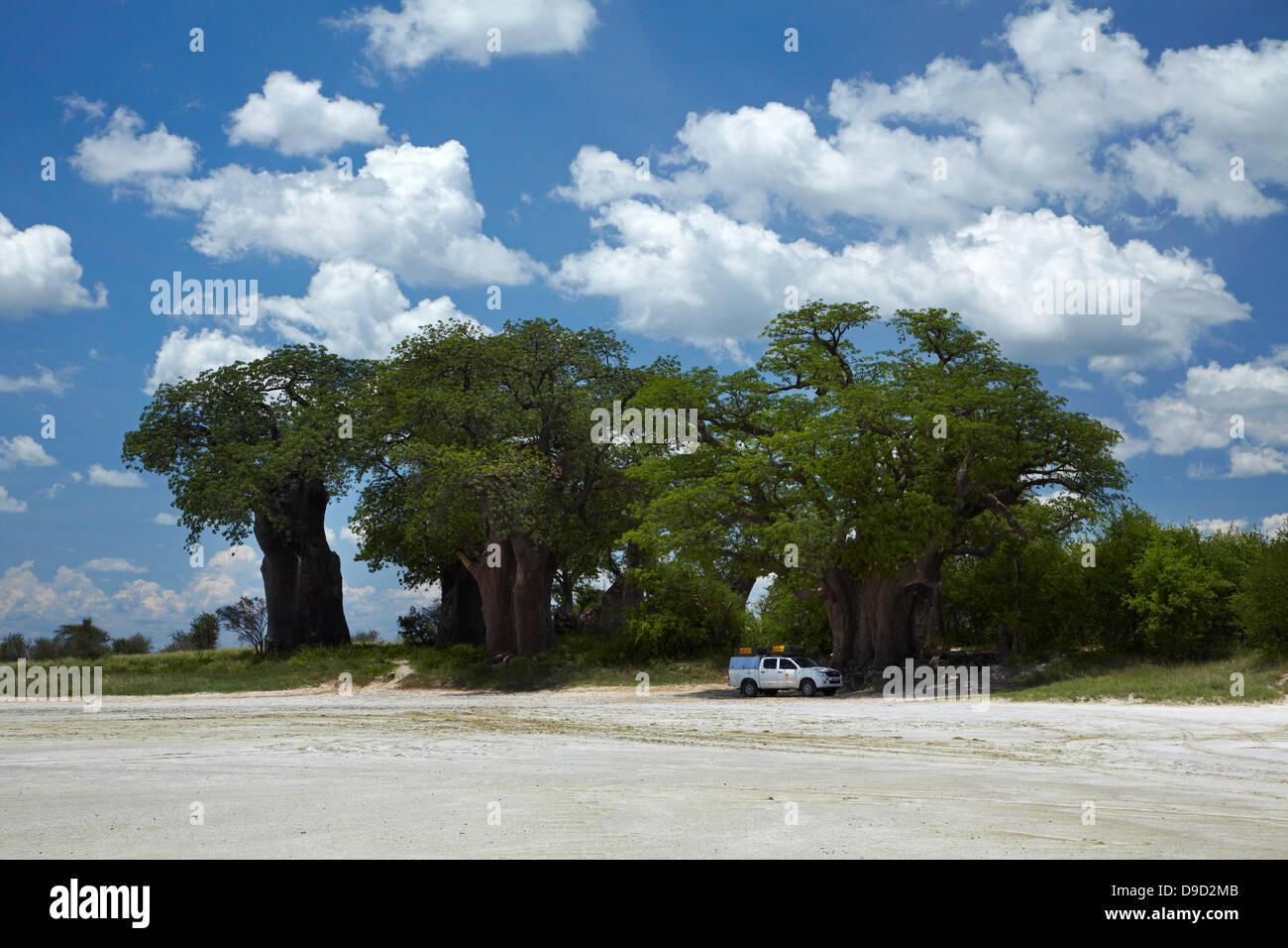 Baines' Baobabs and 4x4 camper, Kudiakam Pan, Nxai Pan National Park, Botswana, Africa - Stock Image