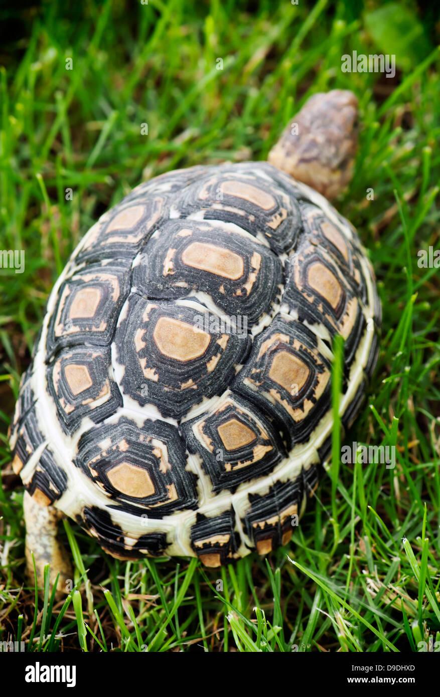 Leopard tortoise (Geochelone pardalis) walking on the lawn. - Stock Image