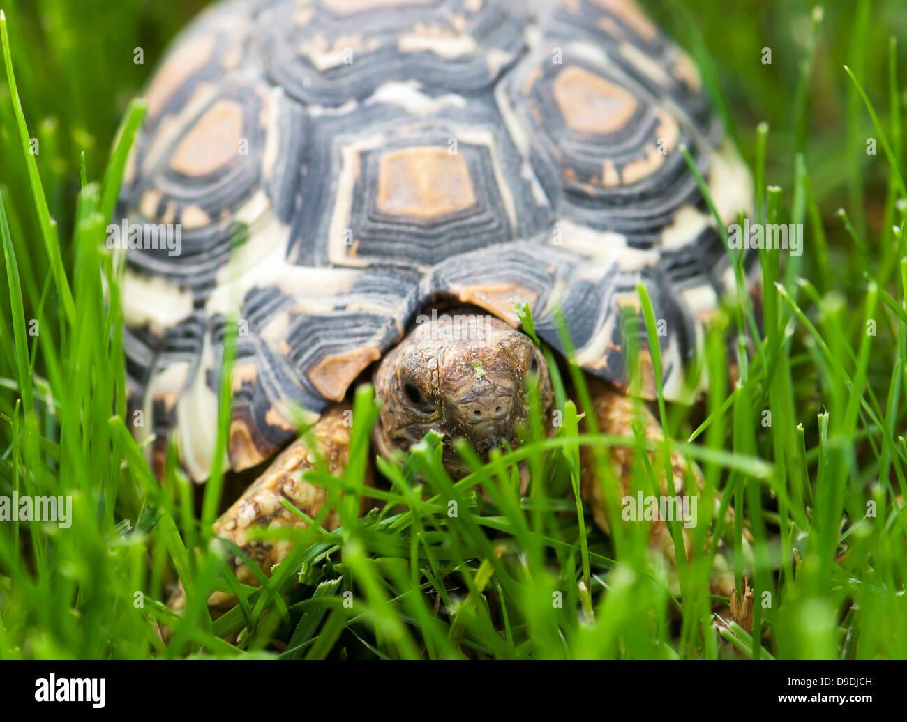 Mountain or leopard tortoise (Geochelone pardalis) walking in the green grass. - Stock Image