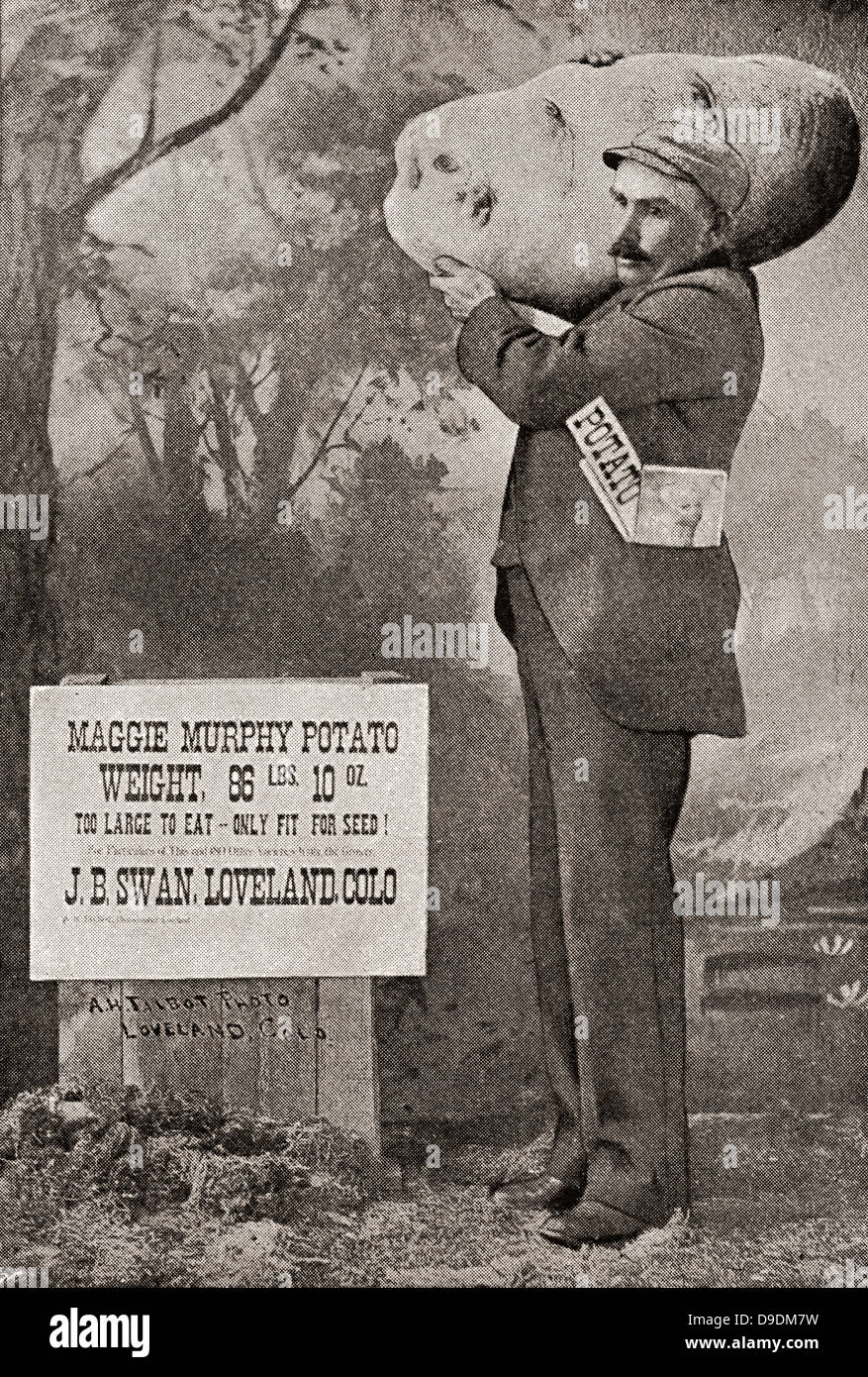 The biggest potato on record in 1879. The Maggie Murphy potato weighing 86lbs. 10oz. - Stock Image