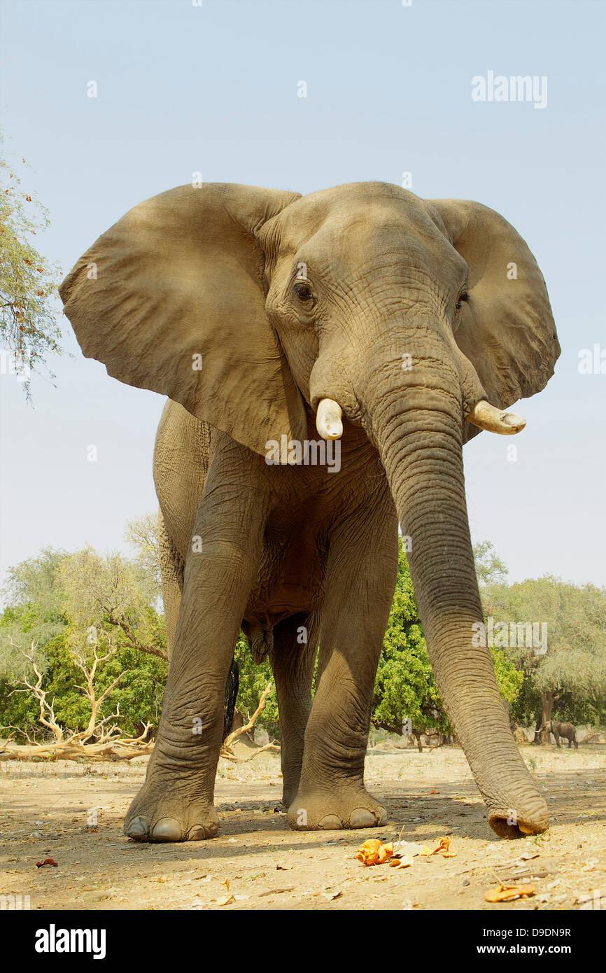 African Elephant, Loxodonta africana, feeding on acacia pods - Stock Image