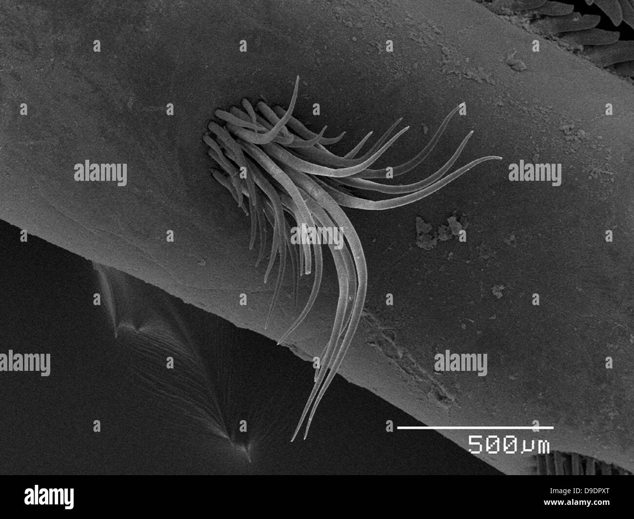 Crayfish claw SEM - Stock Image