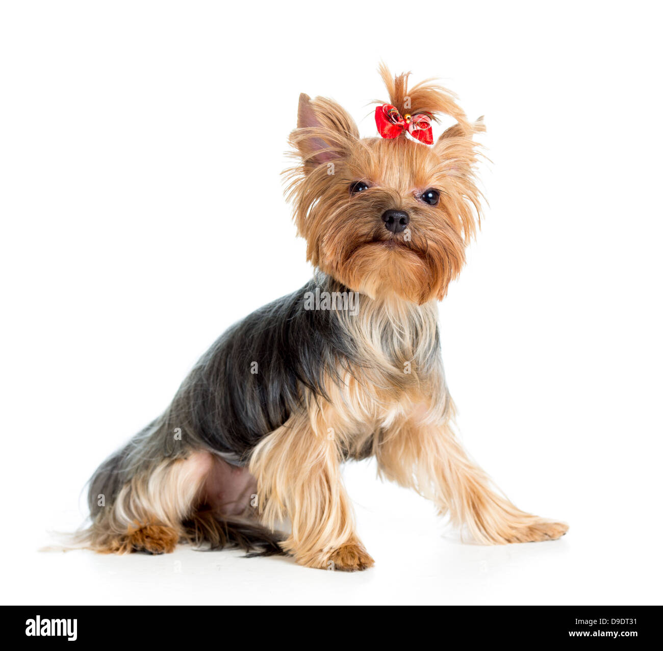 puppy yorkshire terrier isolated on white background - Stock Image