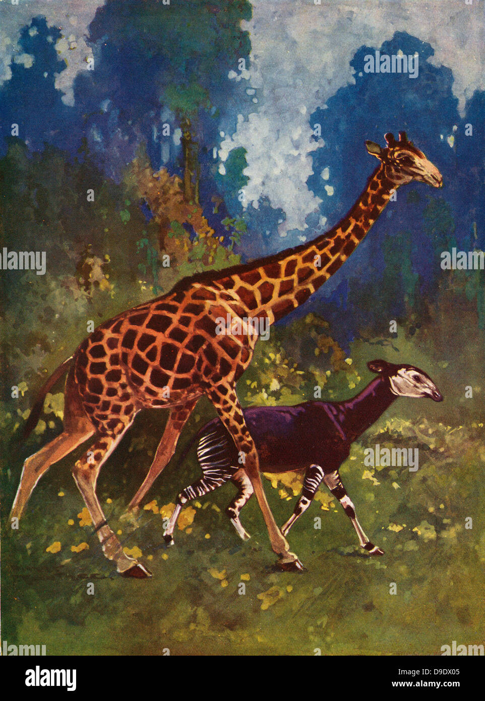 Illustration of Giraffe and its relative Okapi johnstoni, unknown to science until 1900. - Stock Image