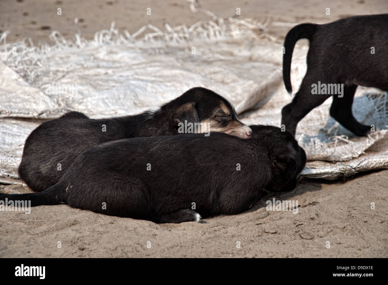 Puppies sleeping at the Ganges riverbanks. Varanasi, Benares, Uttar Pradesh, India - Stock Image
