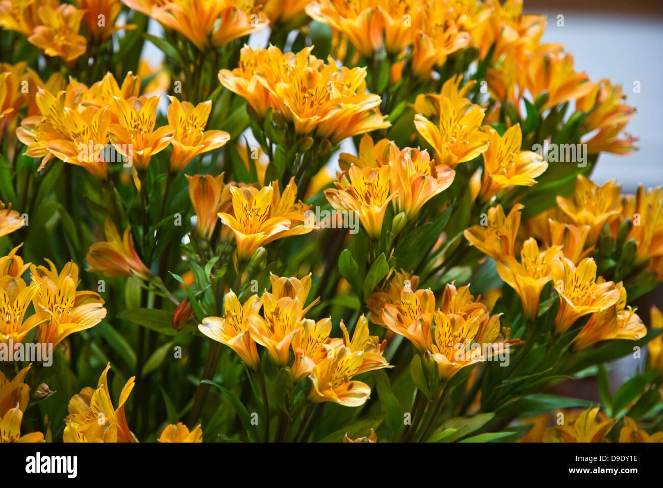 Close-up of flowers, Shimla, Himachal Pradesh, India - Stock Image