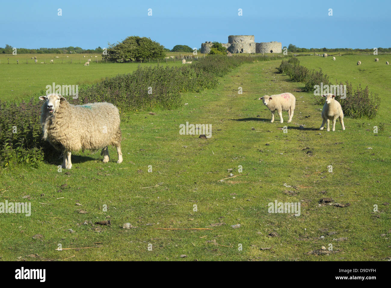 Ewe and lambs on the footpath to Camber Castle East Sussex England UK GB - Stock Image
