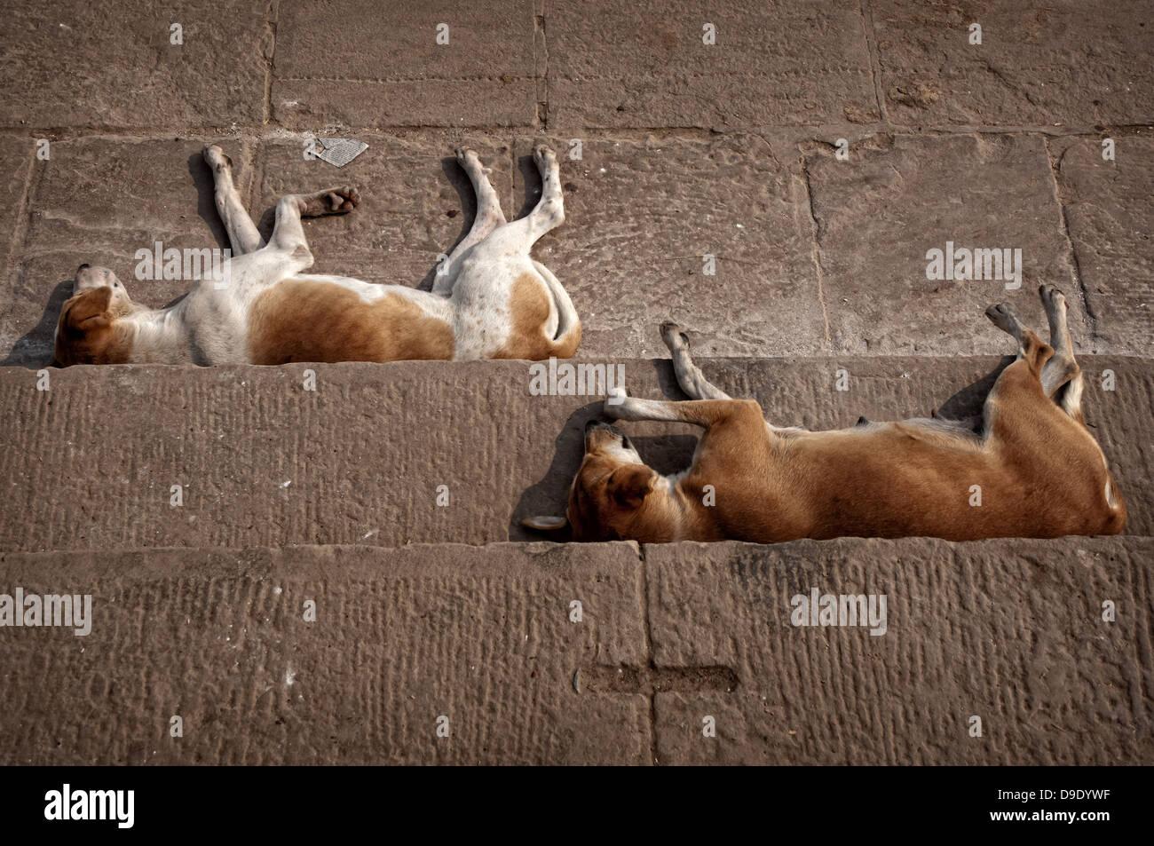 Dogs sleeping at the Ganges ghats. Varanasi, Benares, Uttar Pradesh, India - Stock Image
