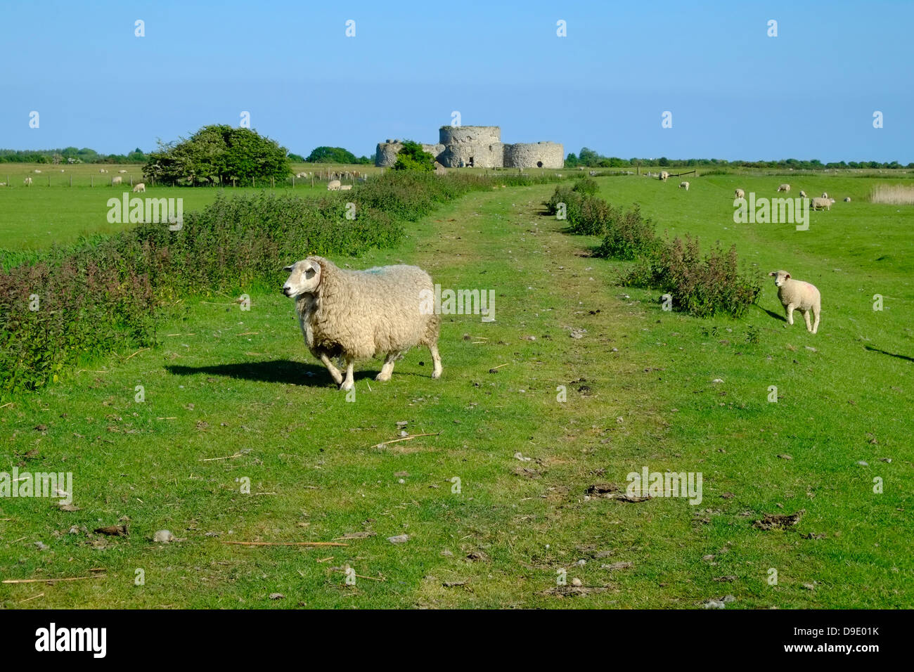 Ewe and lamb crossing the track to Camber Castle East Sussex UK GB - Stock Image