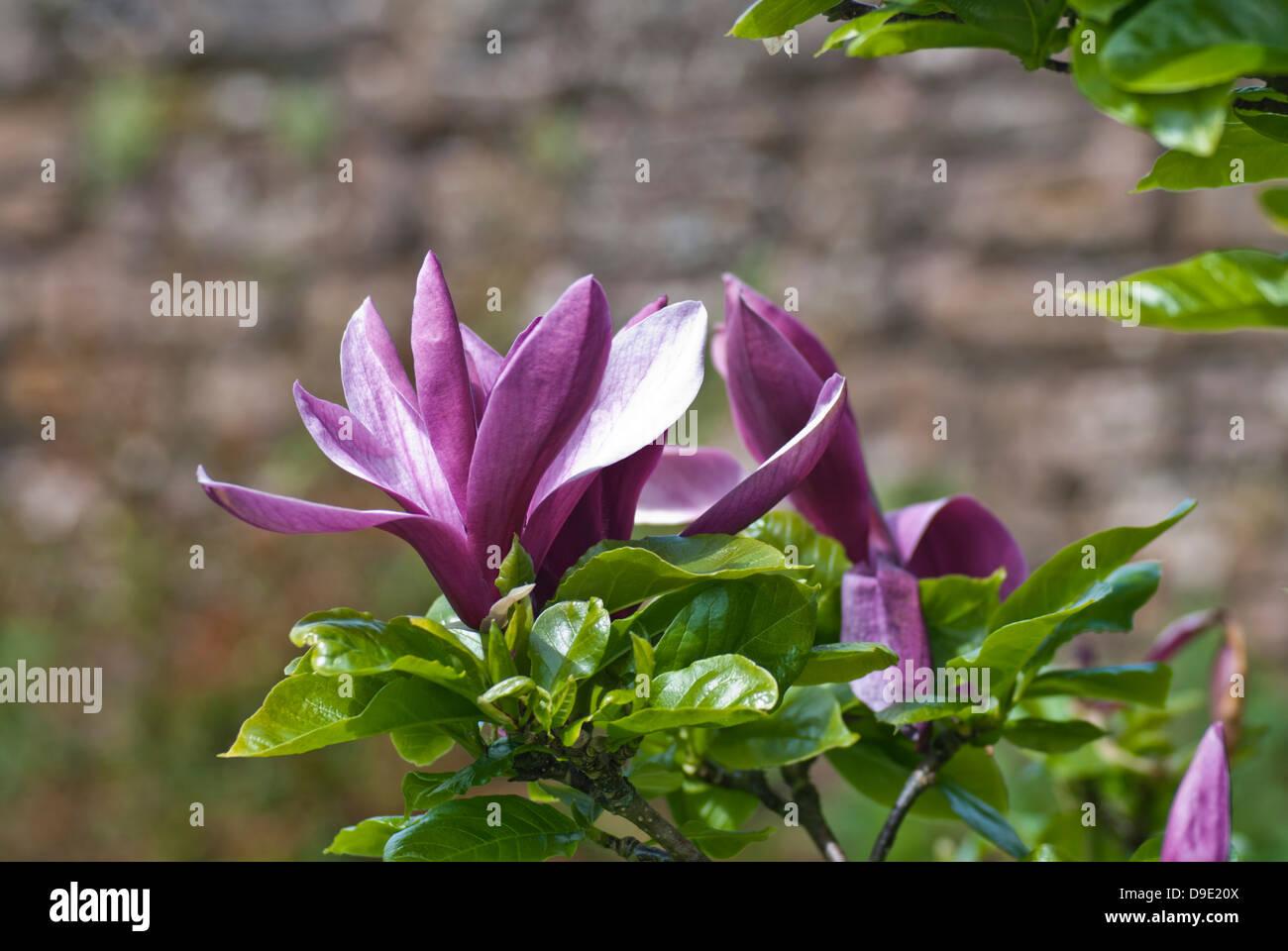 Black lily stock photos black lily stock images alamy magnolia lilliflora nigra black lily magnolia stock image izmirmasajfo