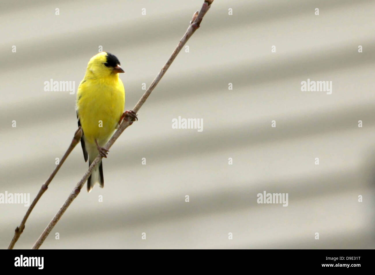 YELLOW BLACK BIRD SITTING ON STICK BRANCH TWIG - Stock Image