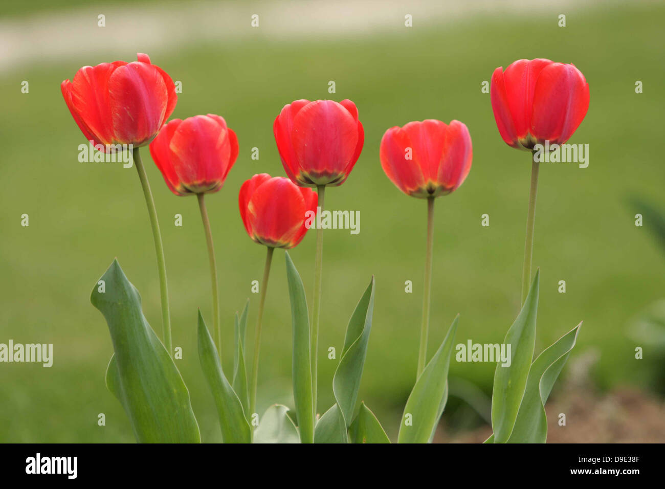 RED GREEN TULIPS SIX GROUP BUNCH GARDEN STEMS LEAVES - Stock Image