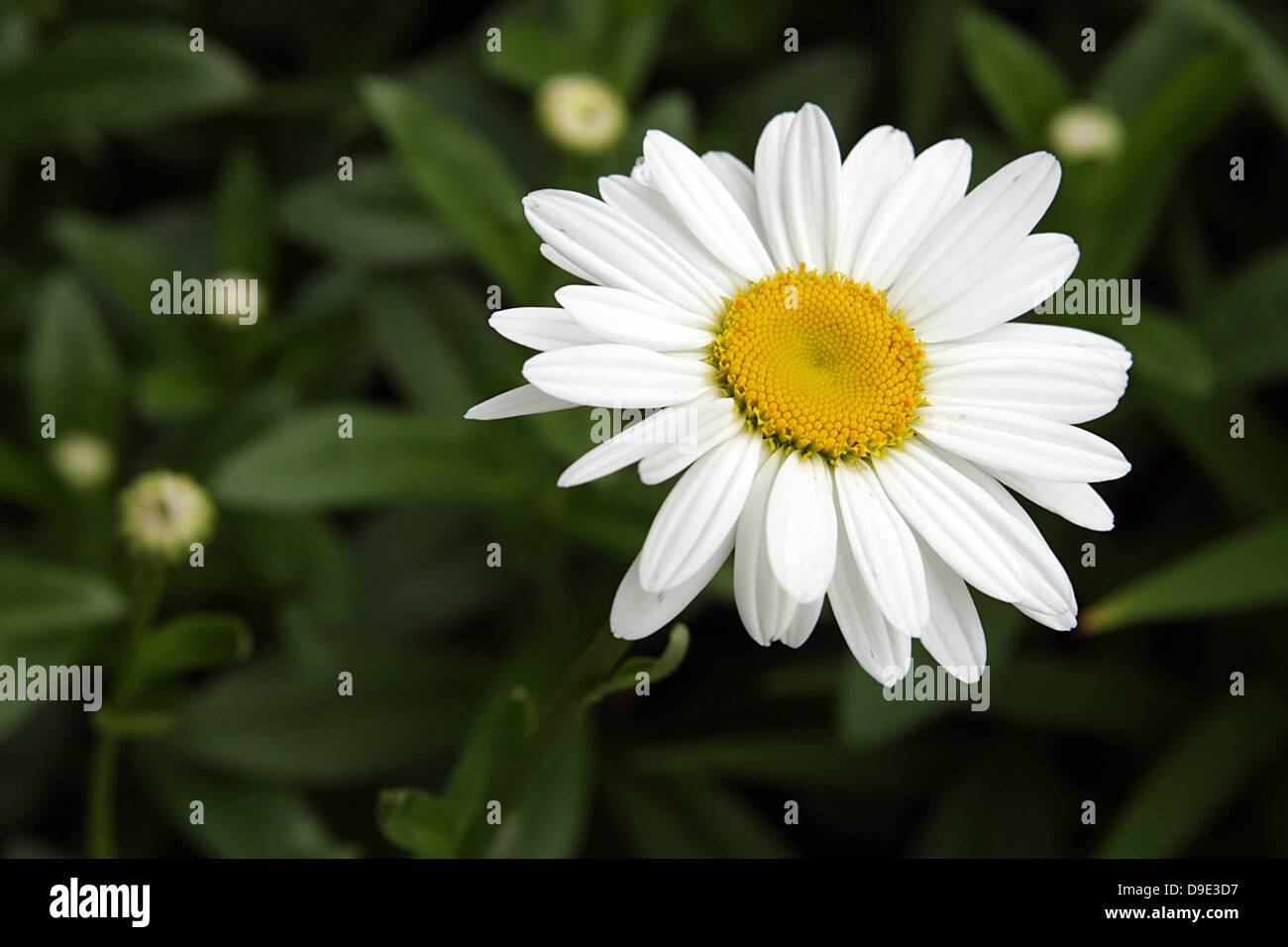 WHITE AND YELLOW DAISY FLOWER IN GREEN GARDEN - Stock Image