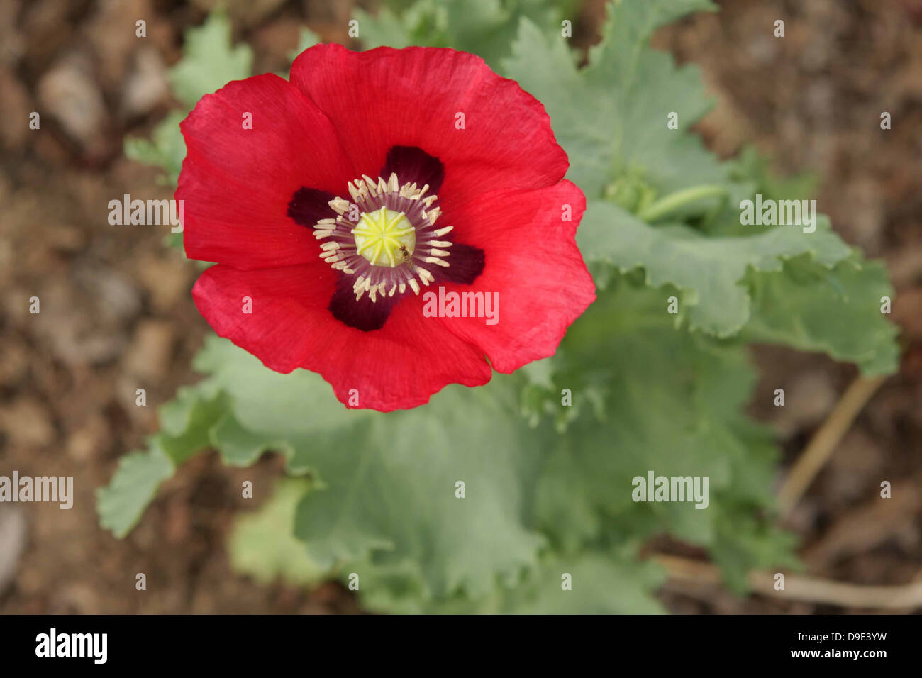 Poppy Flower Stock Photos Poppy Flower Stock Images Alamy