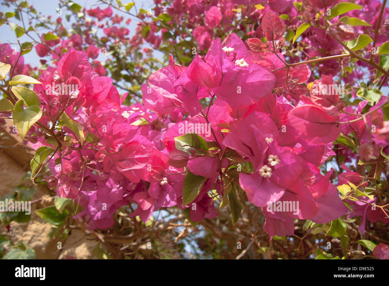 Pink Flowers On The Bush At Summer Day Stock Photo 57474317 Alamy