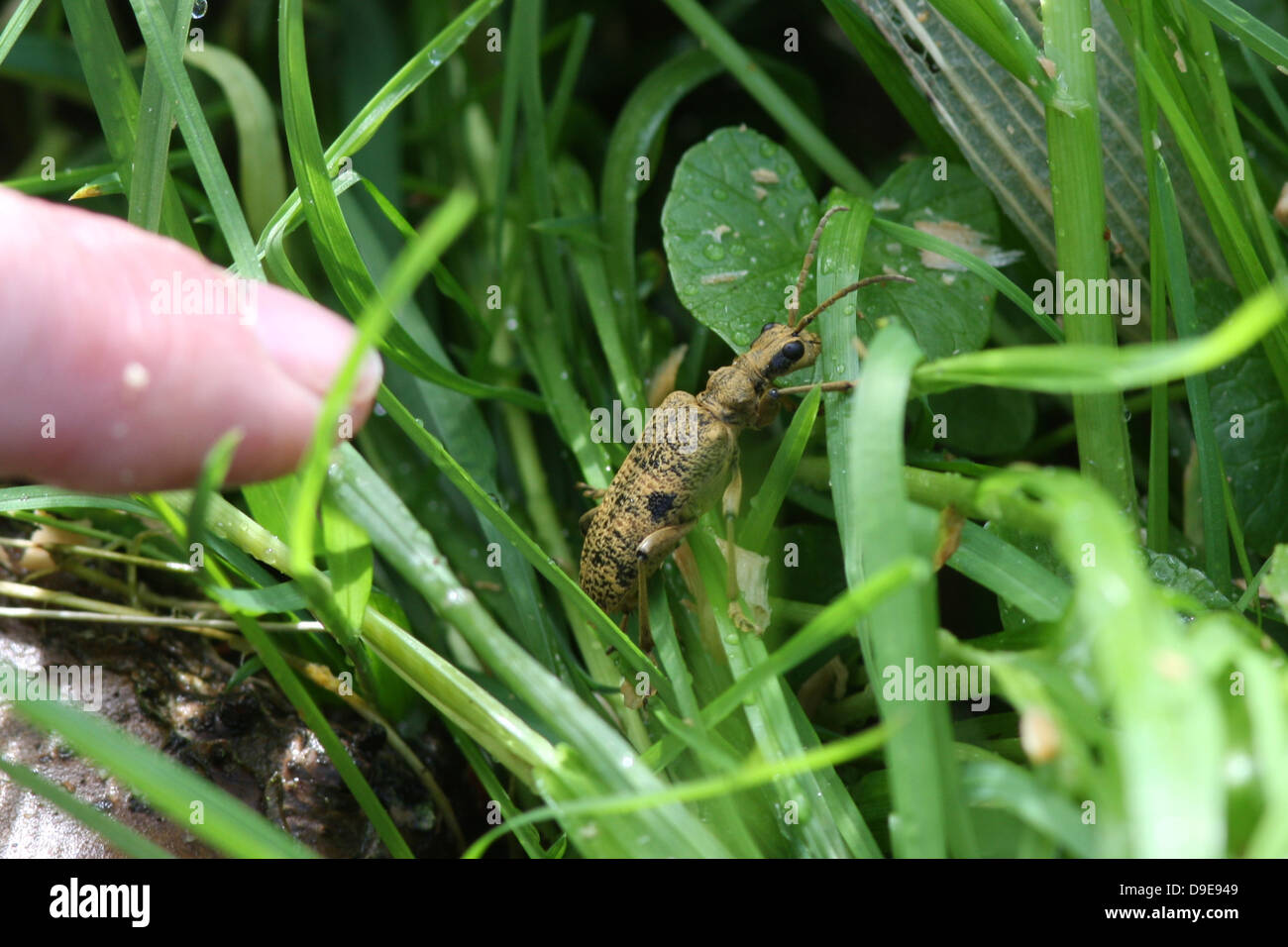 A longhorn beetle Latin name Rhaguim mordax, in grass that is pointed out by a  adult female finger, - Stock Image
