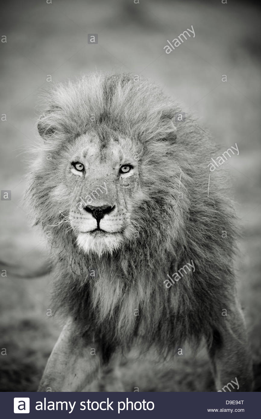A male lion in Cottars Conservancy, Kenya - Stock Image