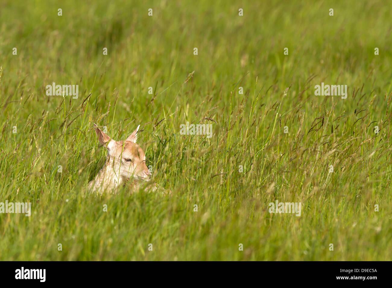 Young Fallow deer, dama dama in long grass - Stock Image