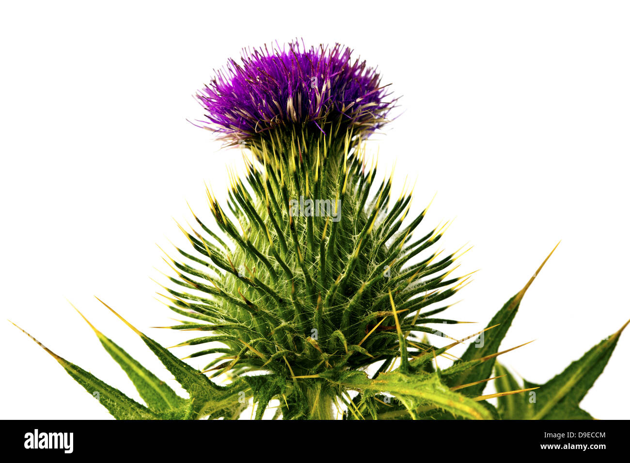 Silybum marianum - milk thistle flower isolated on white. - Stock Image