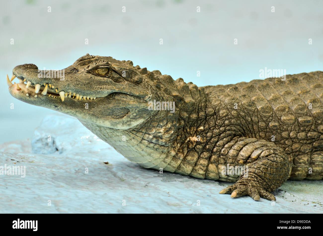 e7b125855990 Small Cayman crocodile Stock Photo  57480902 - Alamy