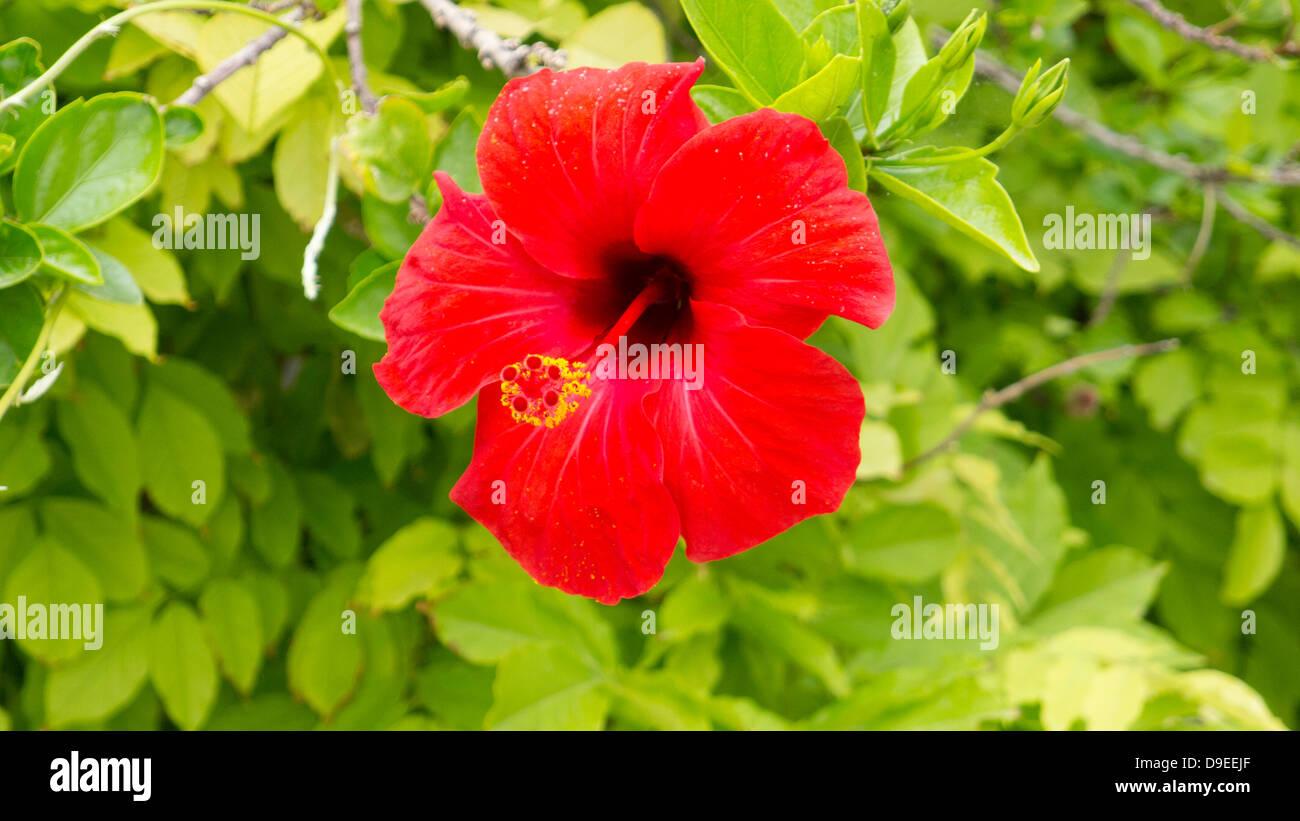 Hibiscus flower red flower greek garden stock photo 57481831 alamy hibiscus flower red flower greek garden izmirmasajfo