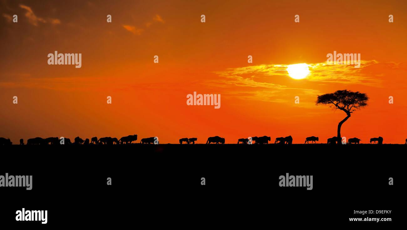 Wildebeest herd at sunrise, Wildebeest Migration, Masai Mara, Kenya - Stock Image
