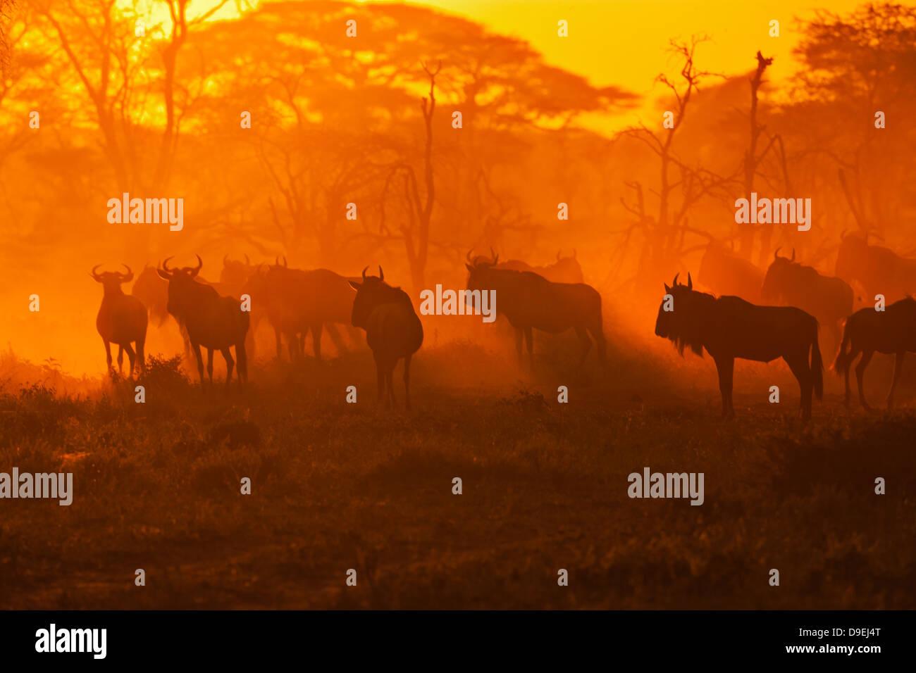 Wildebeest herd at sunrise, Wildebeest Migration, Serengeti Ecosystem, Tanzania - Stock Image