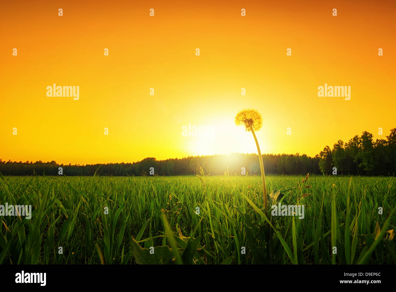 Lonely dandelion on a grass field at sunset, low angle - Stock Image