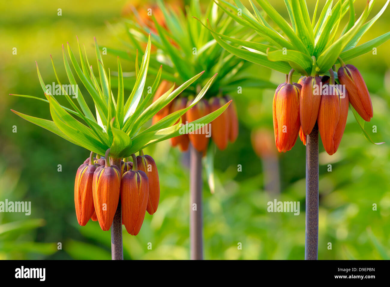 Crown Imperial Flowers Stock Photos Crown Imperial Flowers Stock