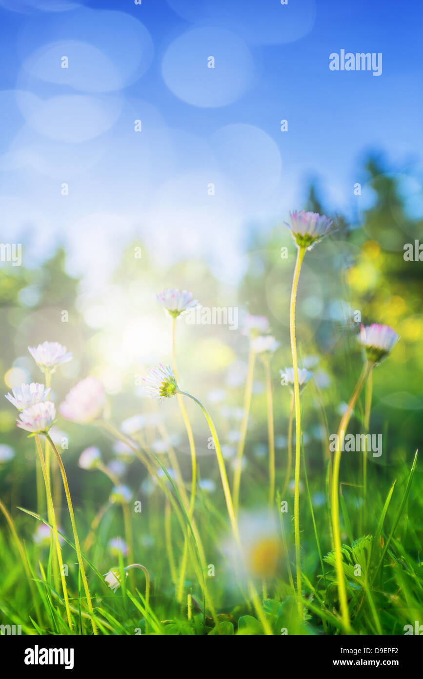 Small daisys in low angle backlight during summer - Stock Image