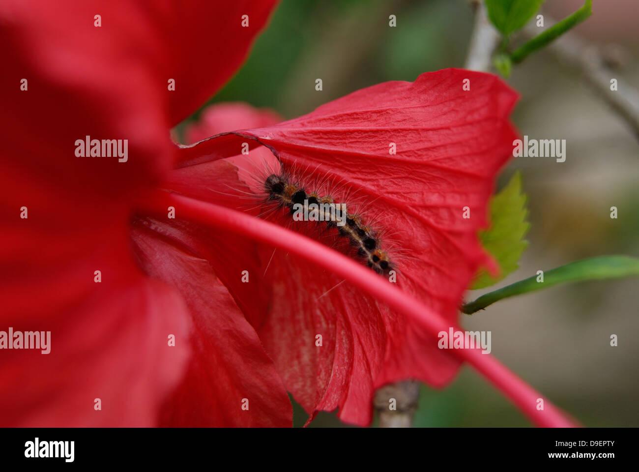 Caterpillar Eating Hibiscus Flower Petals Stock Photo 57488283 Alamy