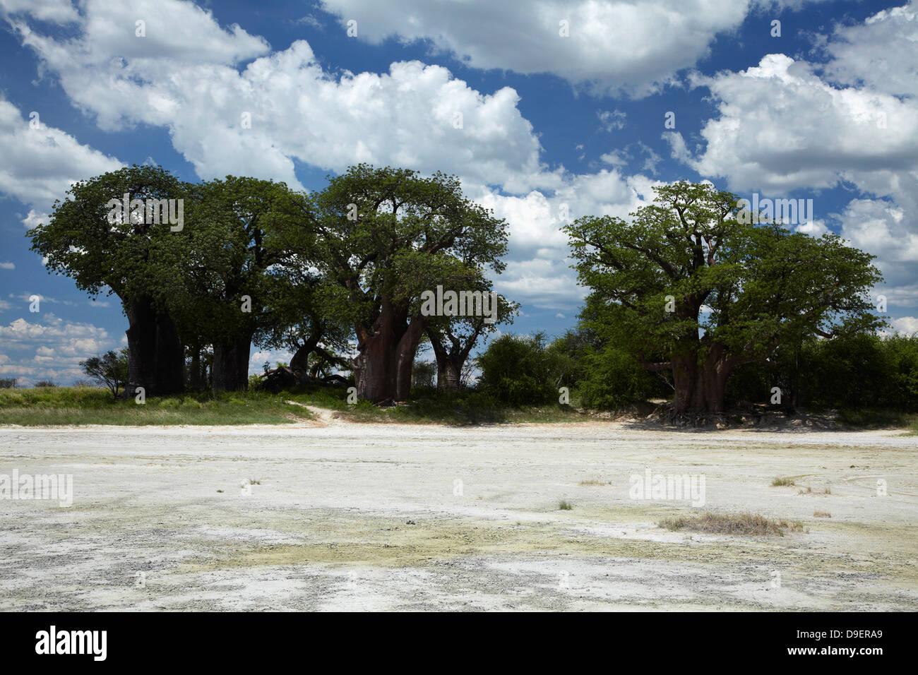 Baines' Baobabs, Kudiakam Pan, Nxai Pan National Park, Botswana, Africa - Stock Image