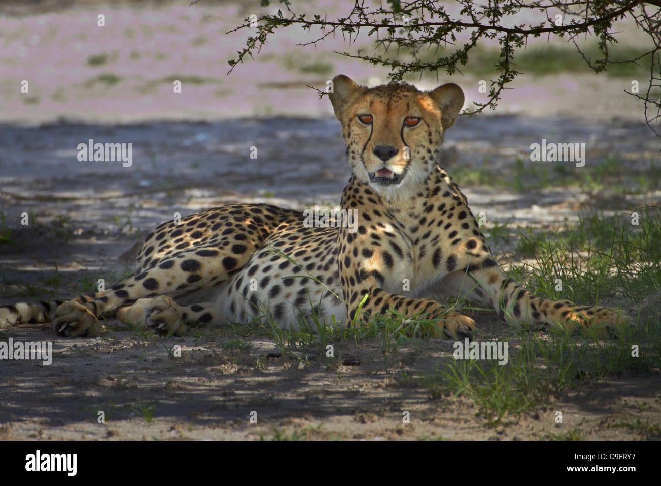 Cheetah (Acinonyx jubatus), Nxai Pan National Park, Botswana, Africa - Stock Image