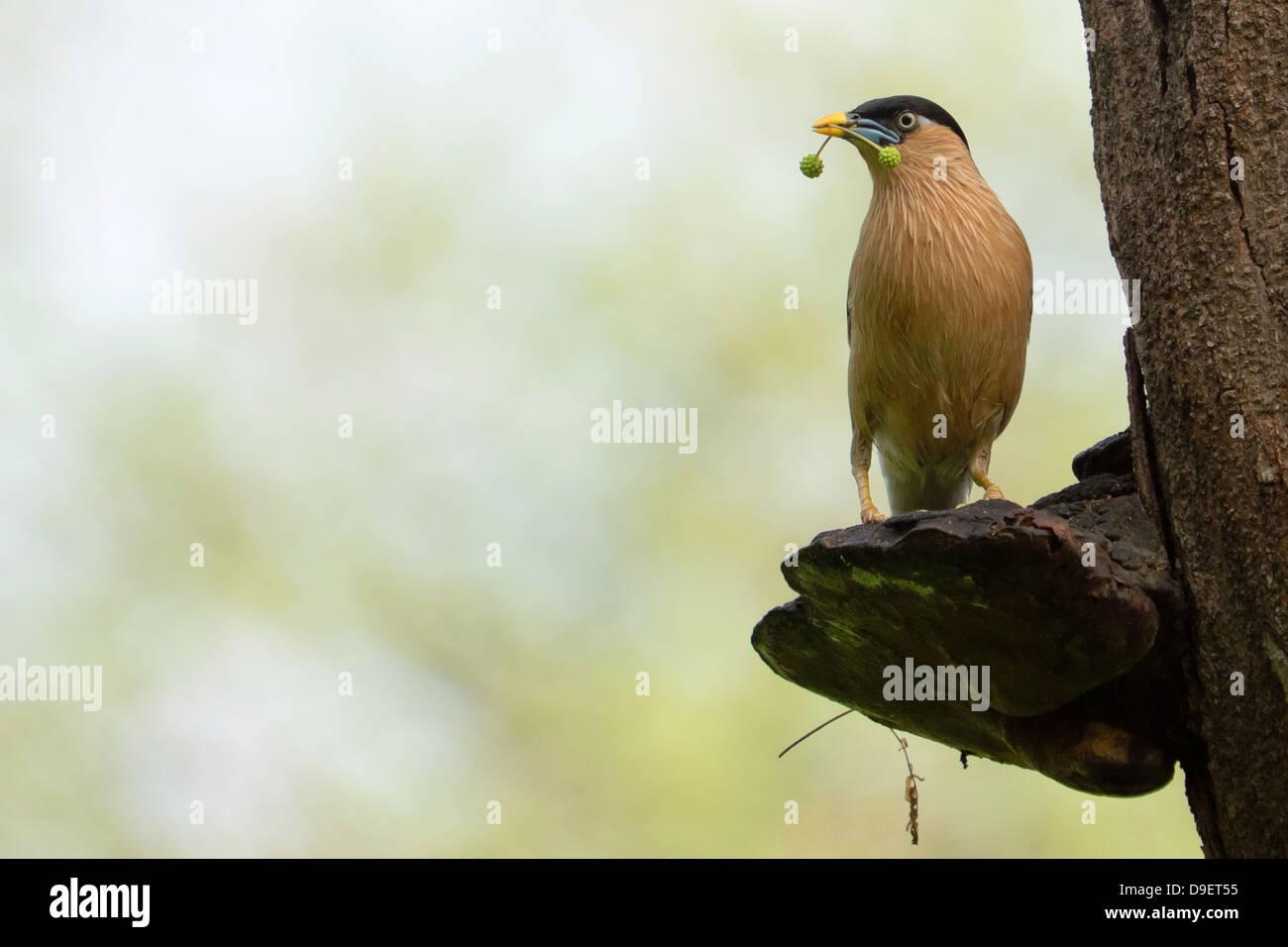 Brahminy Myna or Brahminy Starling (Sturnia pagodarum) - Stock Image