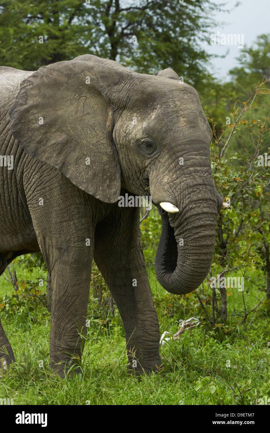 Elephant (Loxodonta africana), beside Nata - Kasane Road, Botswana, Africa - Stock Image