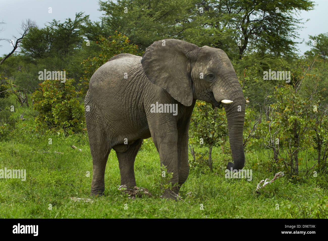 Elephant (Loxodonta africana), beside Nata - Kasane Road, Botswana, Africa Stock Photo